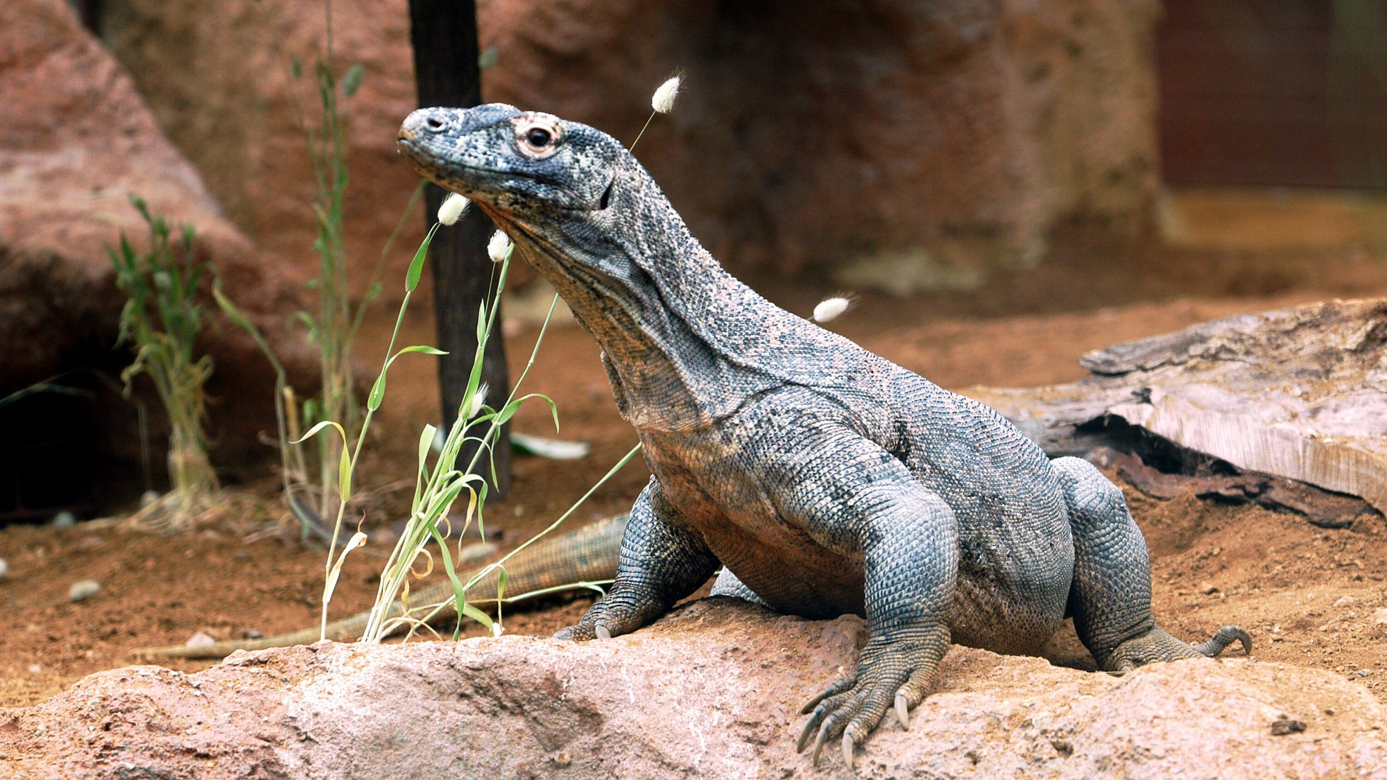 A komodo dragon at ZSL London Zoo.