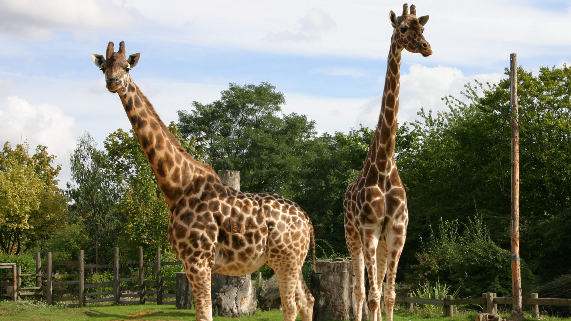comparing mammals giraffe and lion Taxonomic classifications of one to eight extant giraffe species have been they may be preyed on by lions in comparison with the okapi (below) and giraffe.