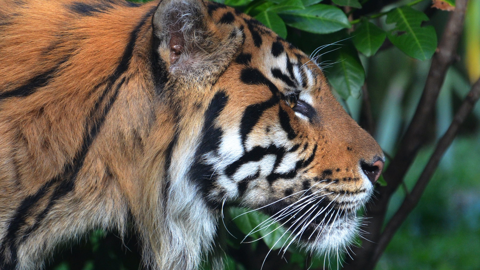 Securing a future for tigers | Zoological Society of ...