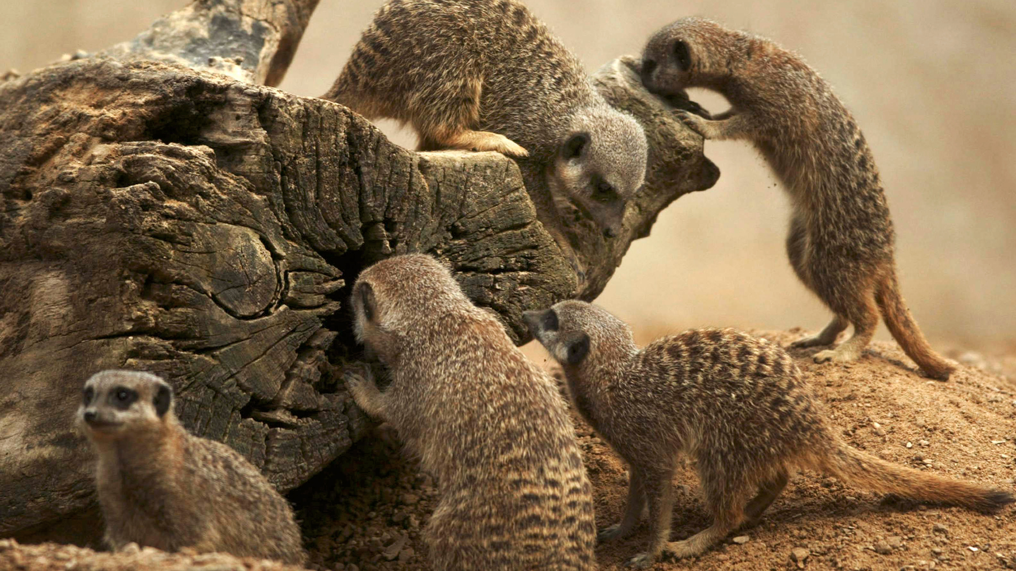 A family of meerkats at ZSL London Zoo