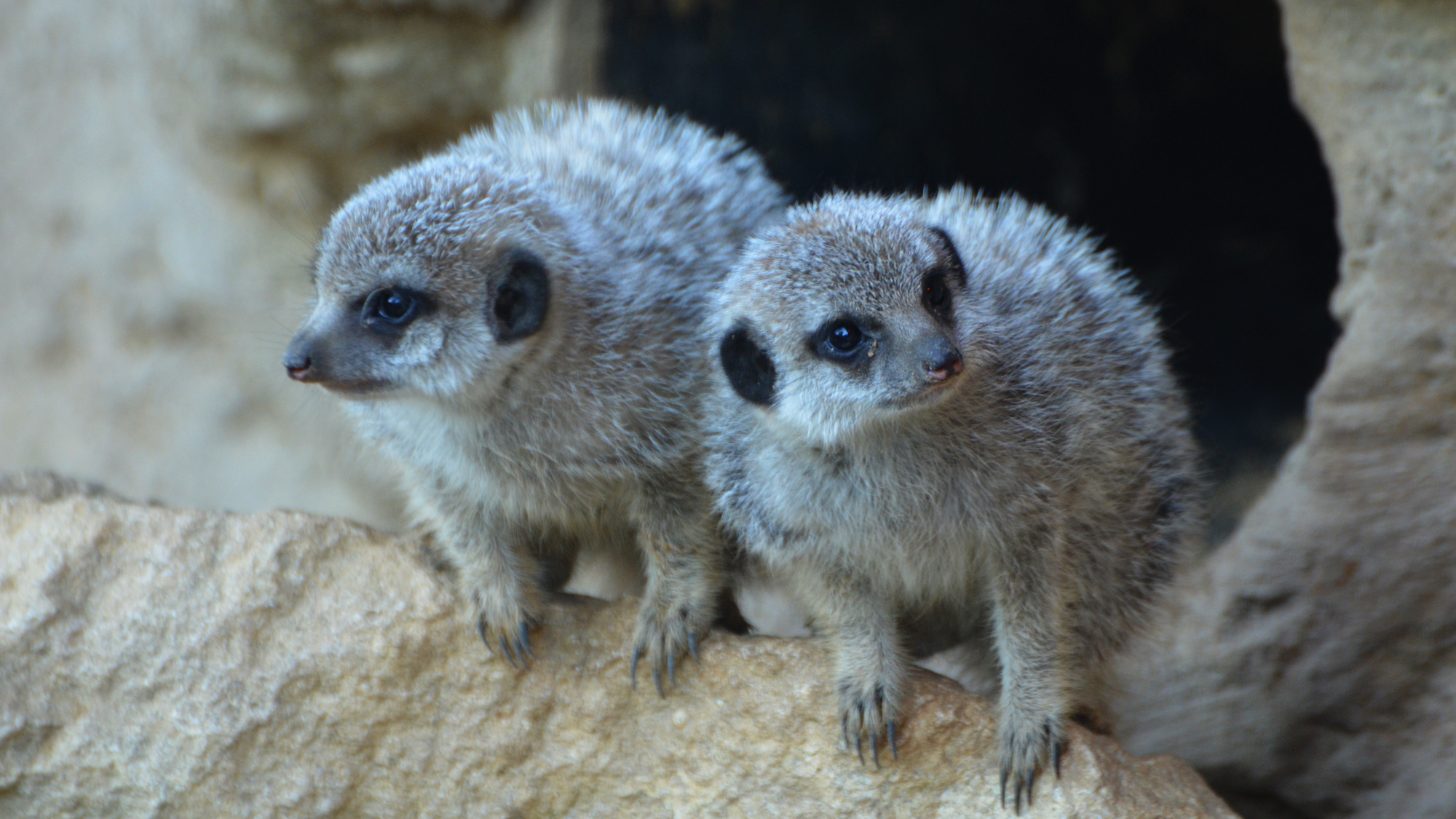 Baby Meerkats at Zsl London