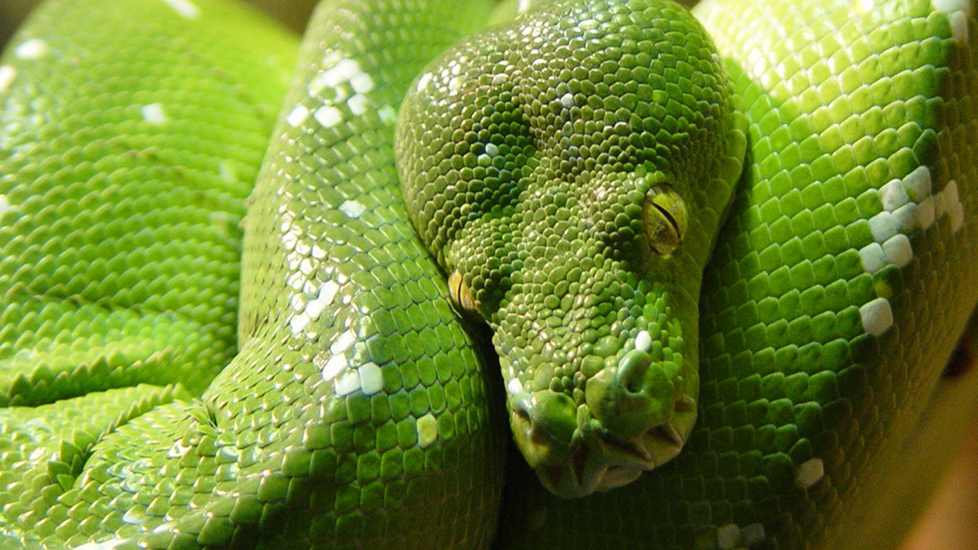 Green Tree Python at ZSL London Zoo