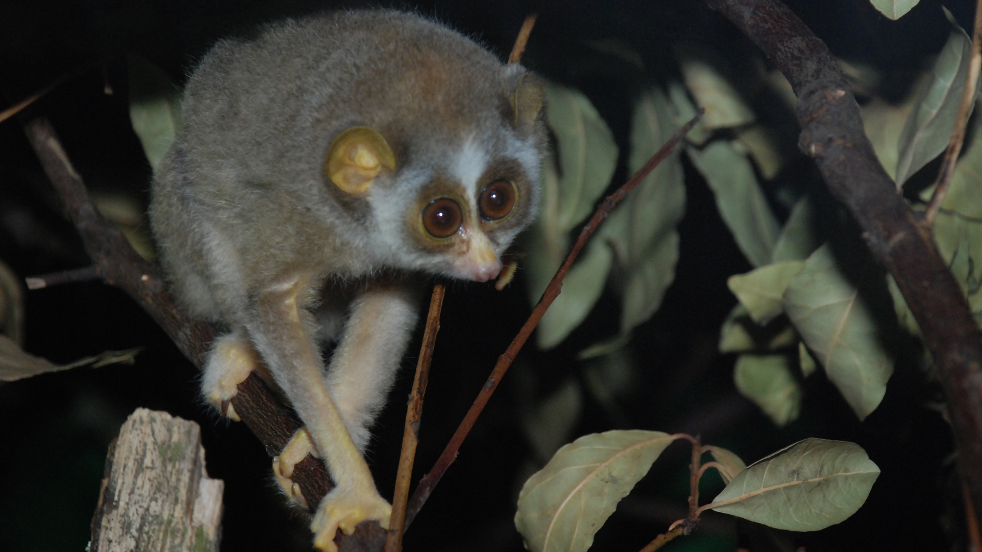 Slender Loris | Zoological Society of London (ZSL)
