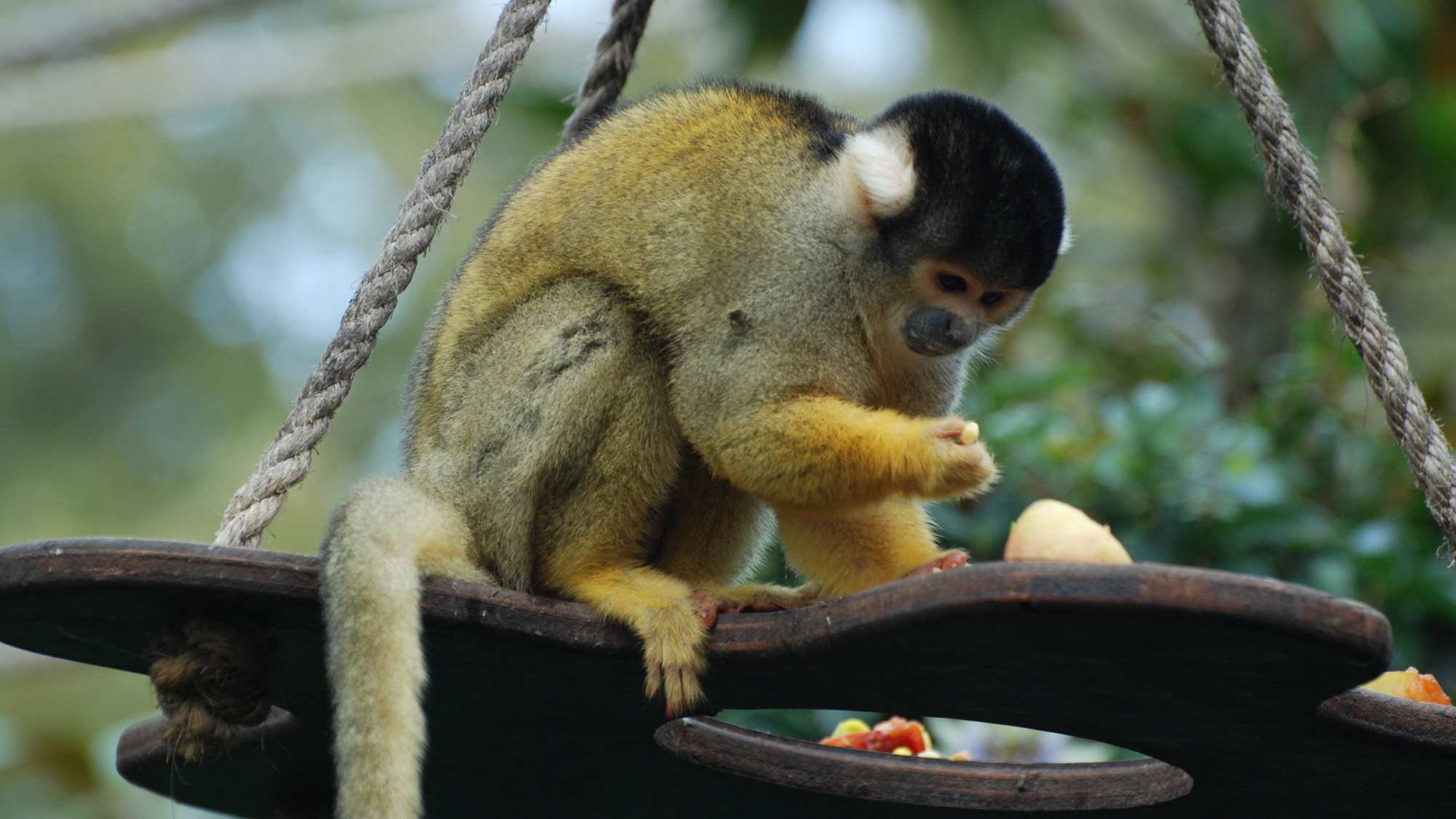squirrel monkey facts zoological society of london zsl