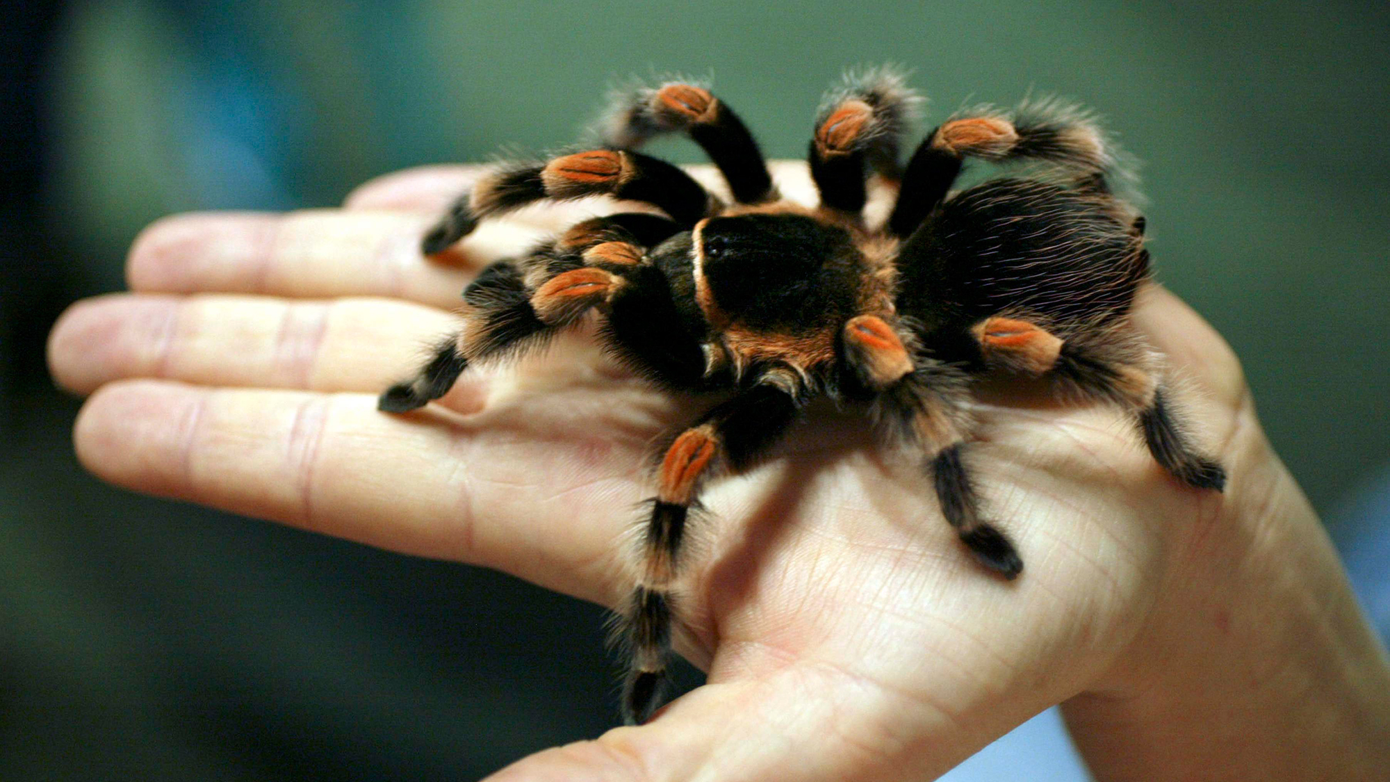 A Red-kneed Tarantula at ZSL London Zoo.