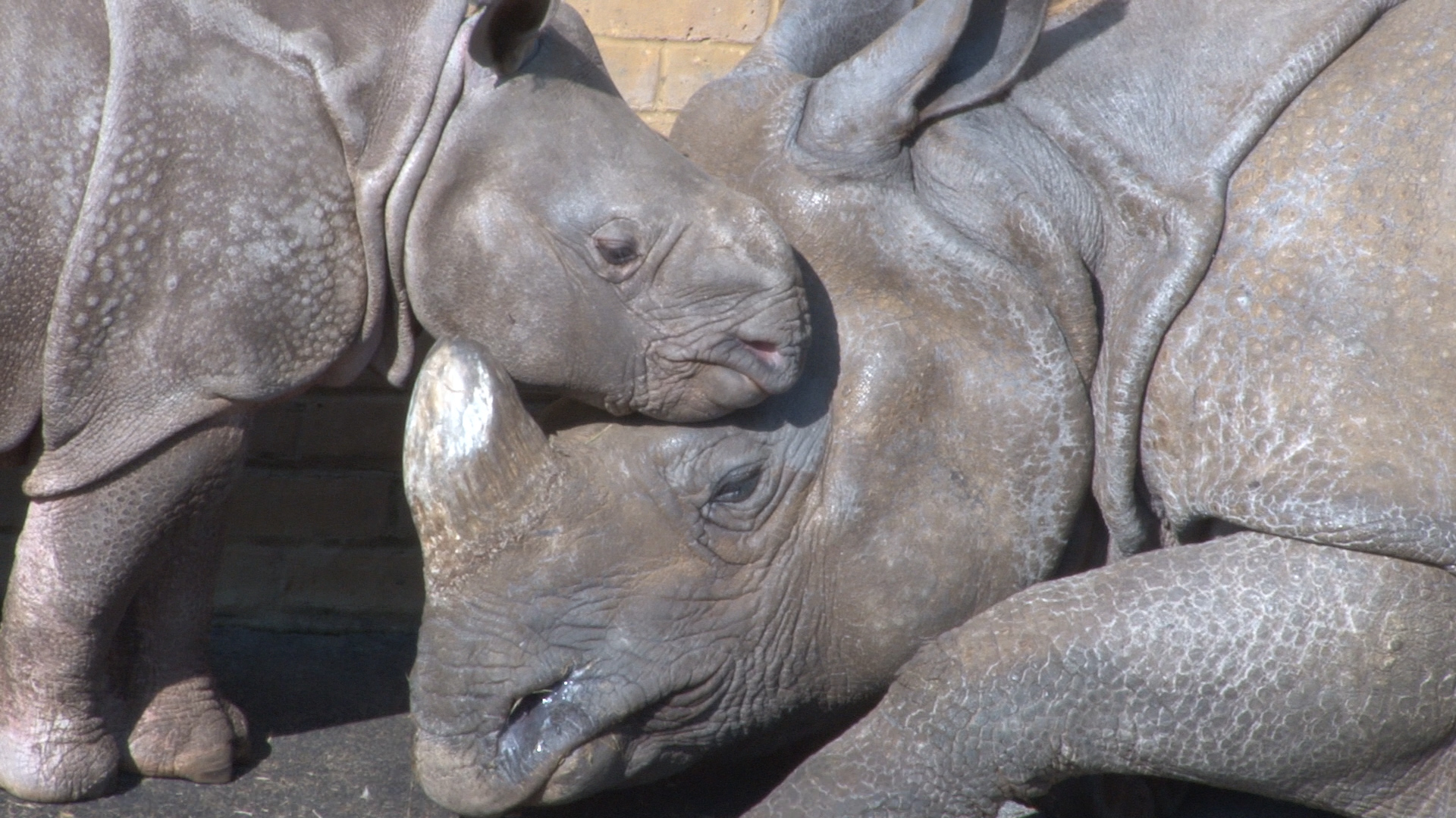 Baby Asian rhino Jamil with mother Behan at ZSL Whipsnade Zoo.