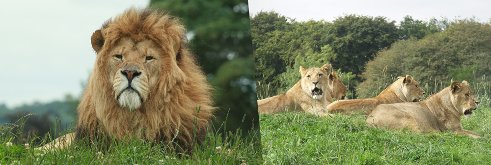 Banner for African lions at Whipsnade