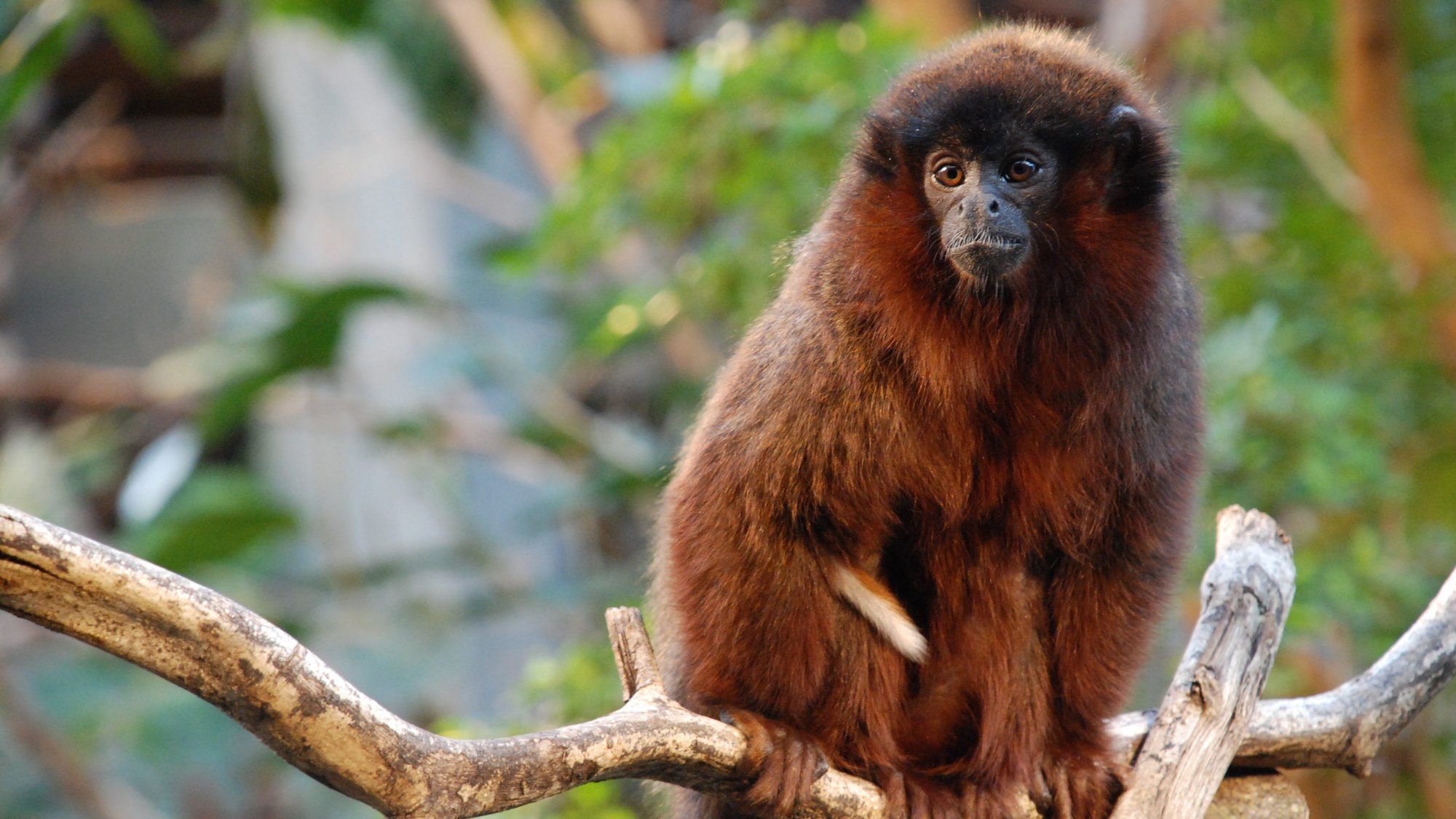 Red Titi Monkey | Zoological Society of London (ZSL)