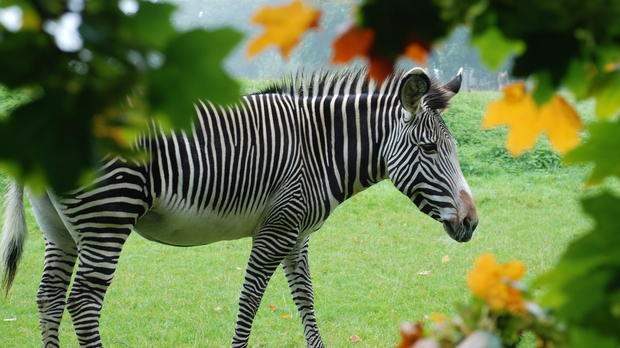 Grevy's Zebra at ZSL Whipsnade Zoo