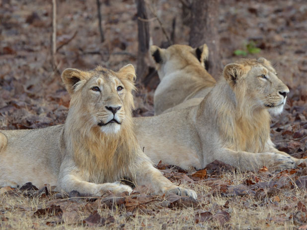 Lion and asiatic lions
