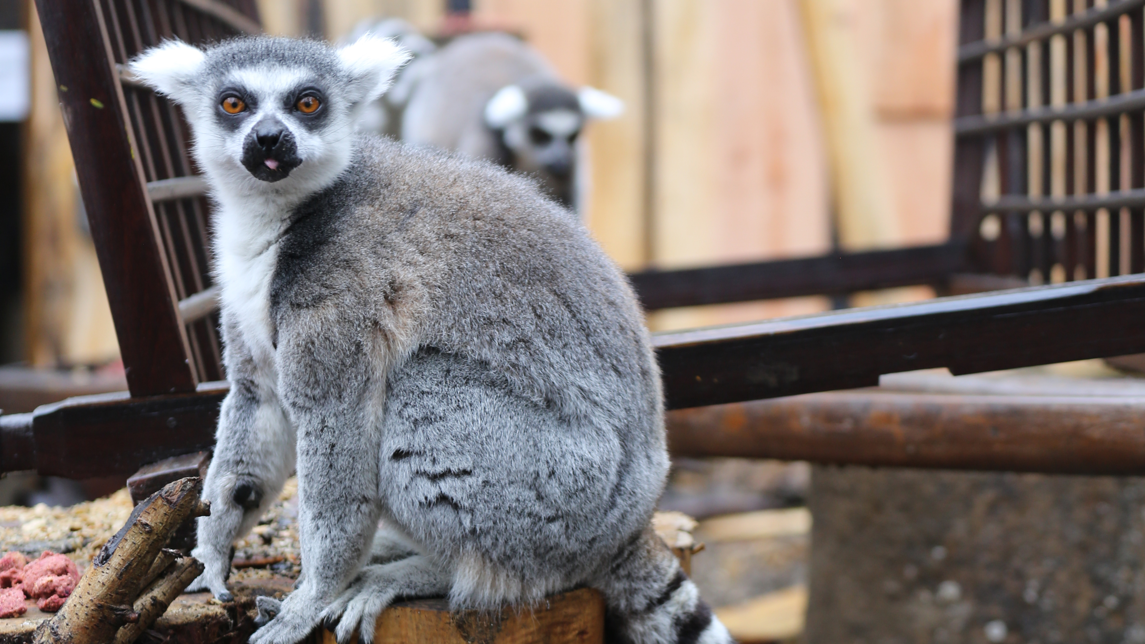 Zoo Animals Group In with the Lemurs   Z...