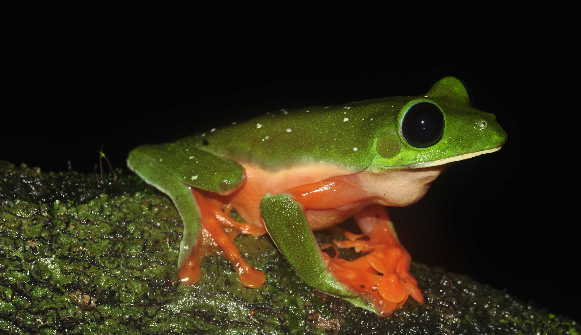Could probiotics help tackle deadly amphibian disease?