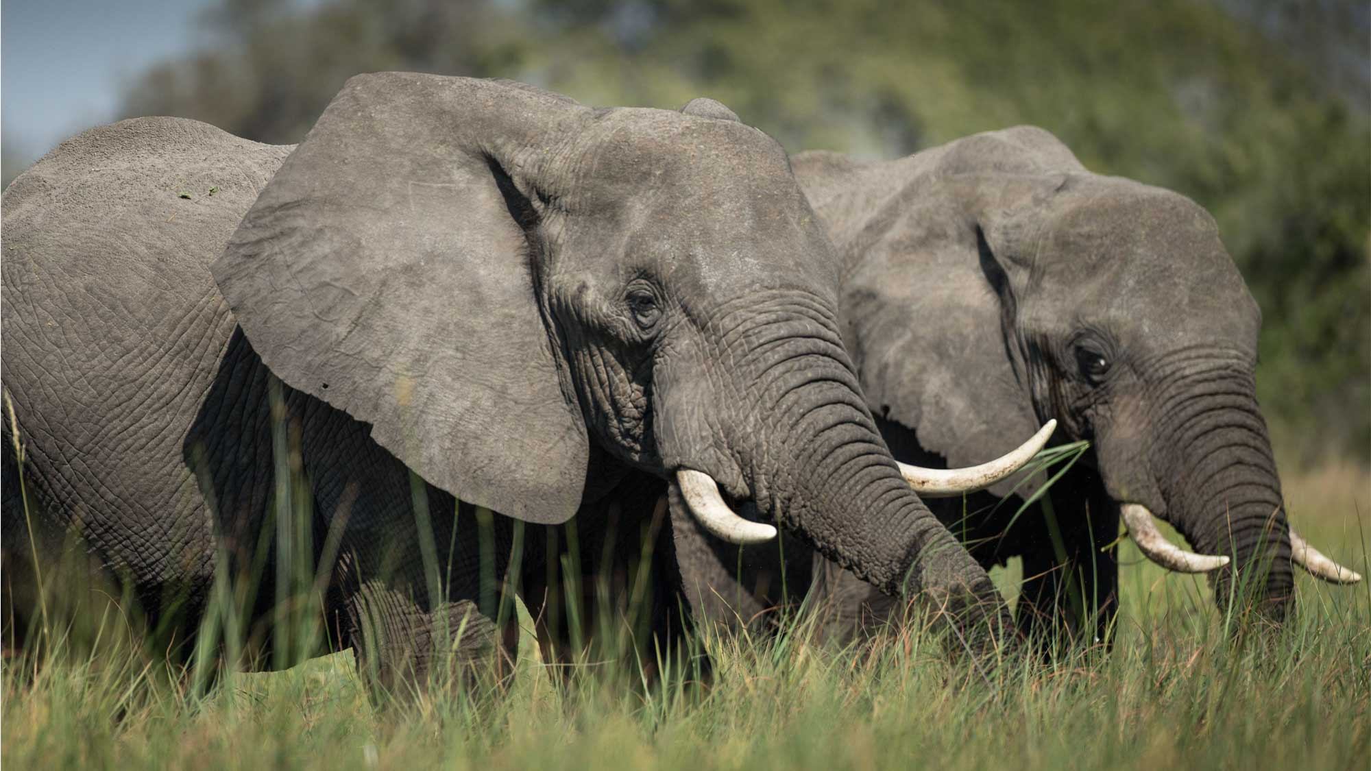 A future for african elephants zoological society of london zsl - Image elephant ...