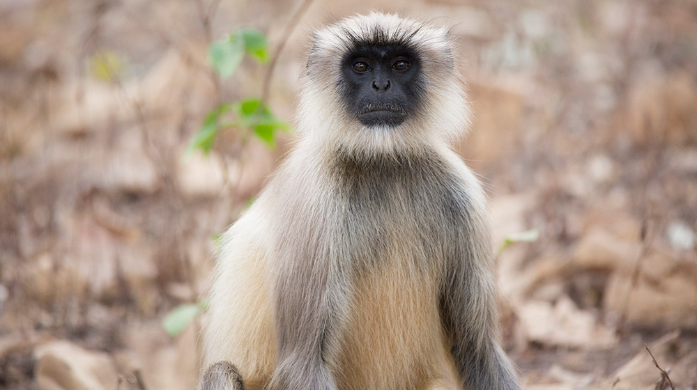 Hanuman langur | Zoological Society of London (ZSL)