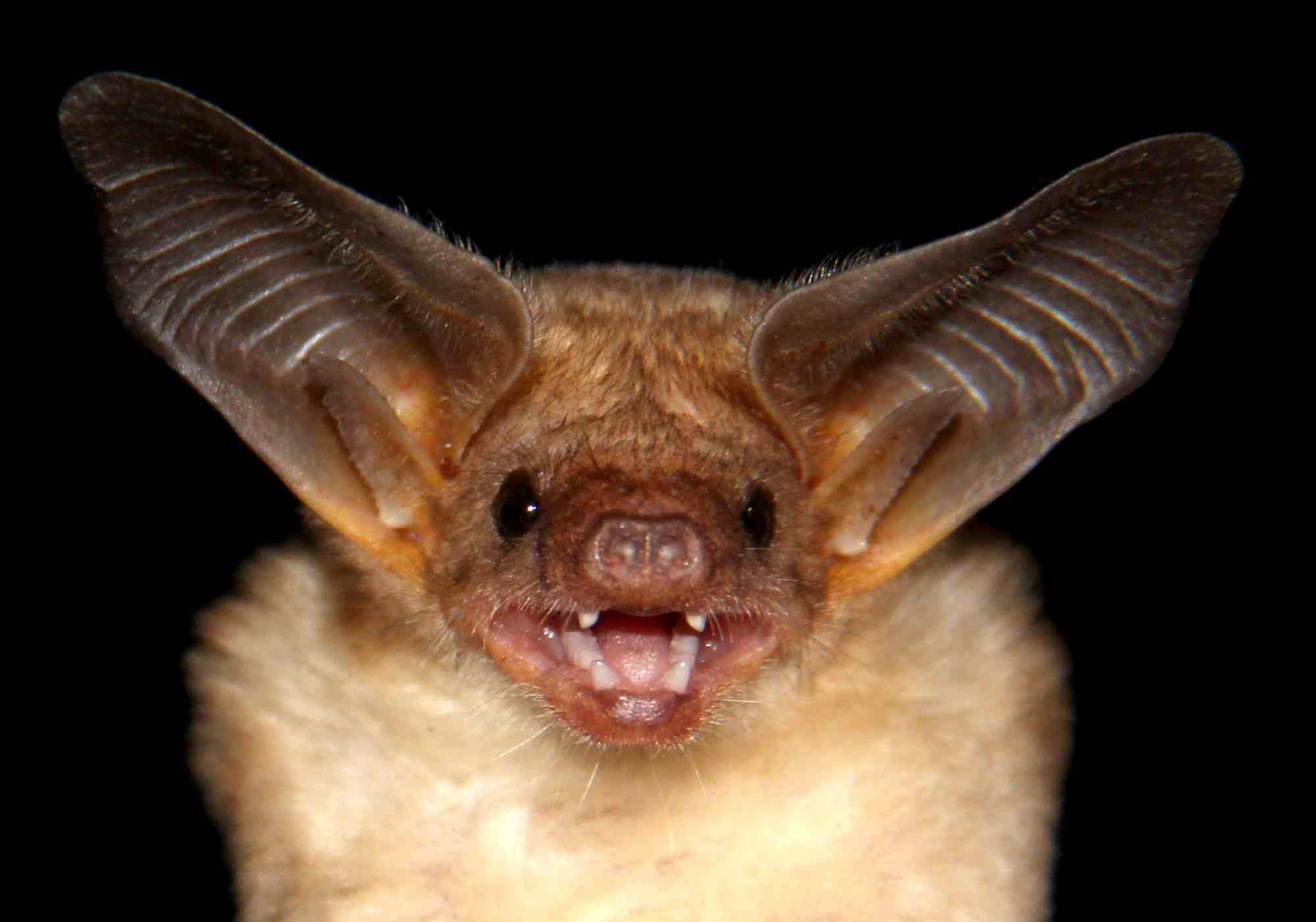 Biggest Library Of Bat Sounds Compiled Zoological