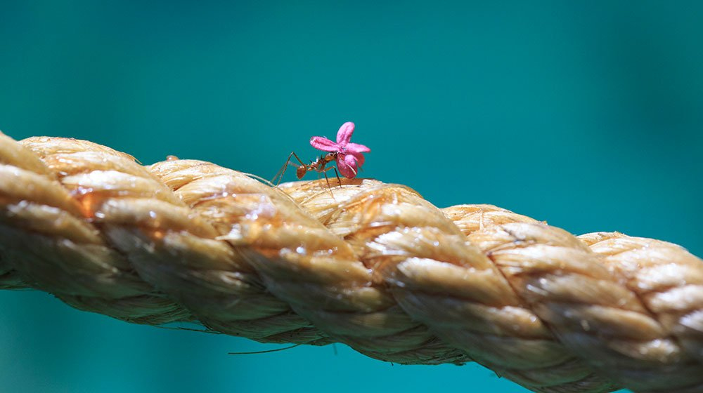 Leafcutter ant with flower