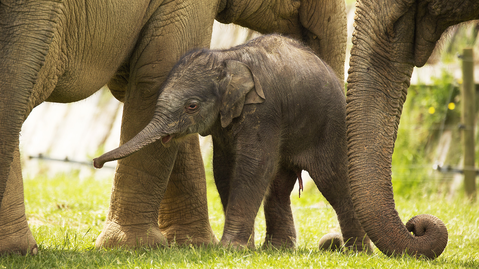 Say hello to Elizabeth the elephant calf! | Zoological ...