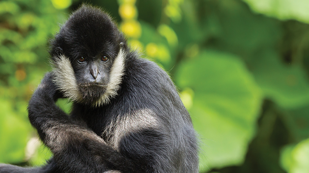 Northern White Cheeked Gibbon Zoological Society Of
