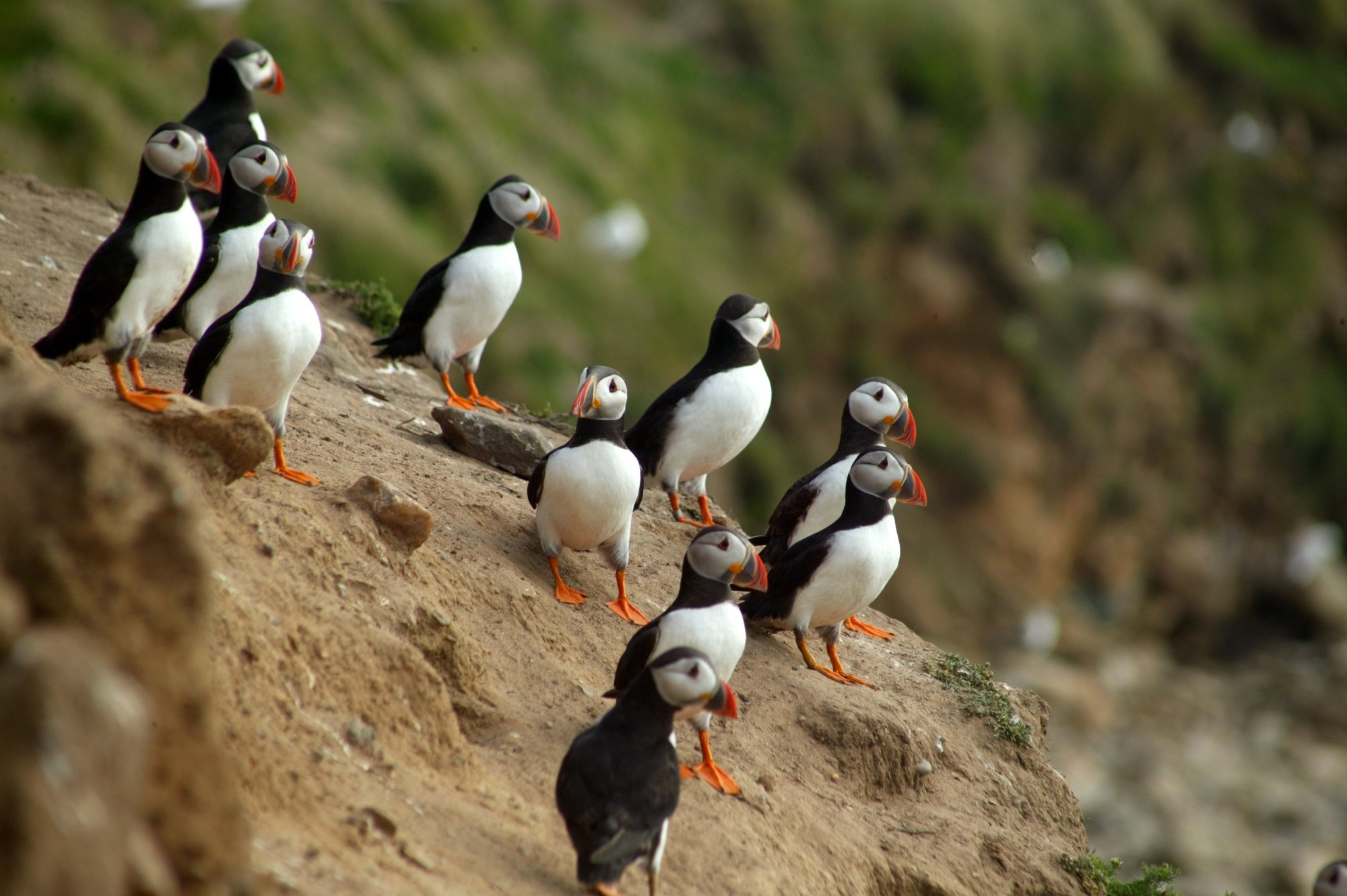 using gps tracking to conserve puffins zoological society of