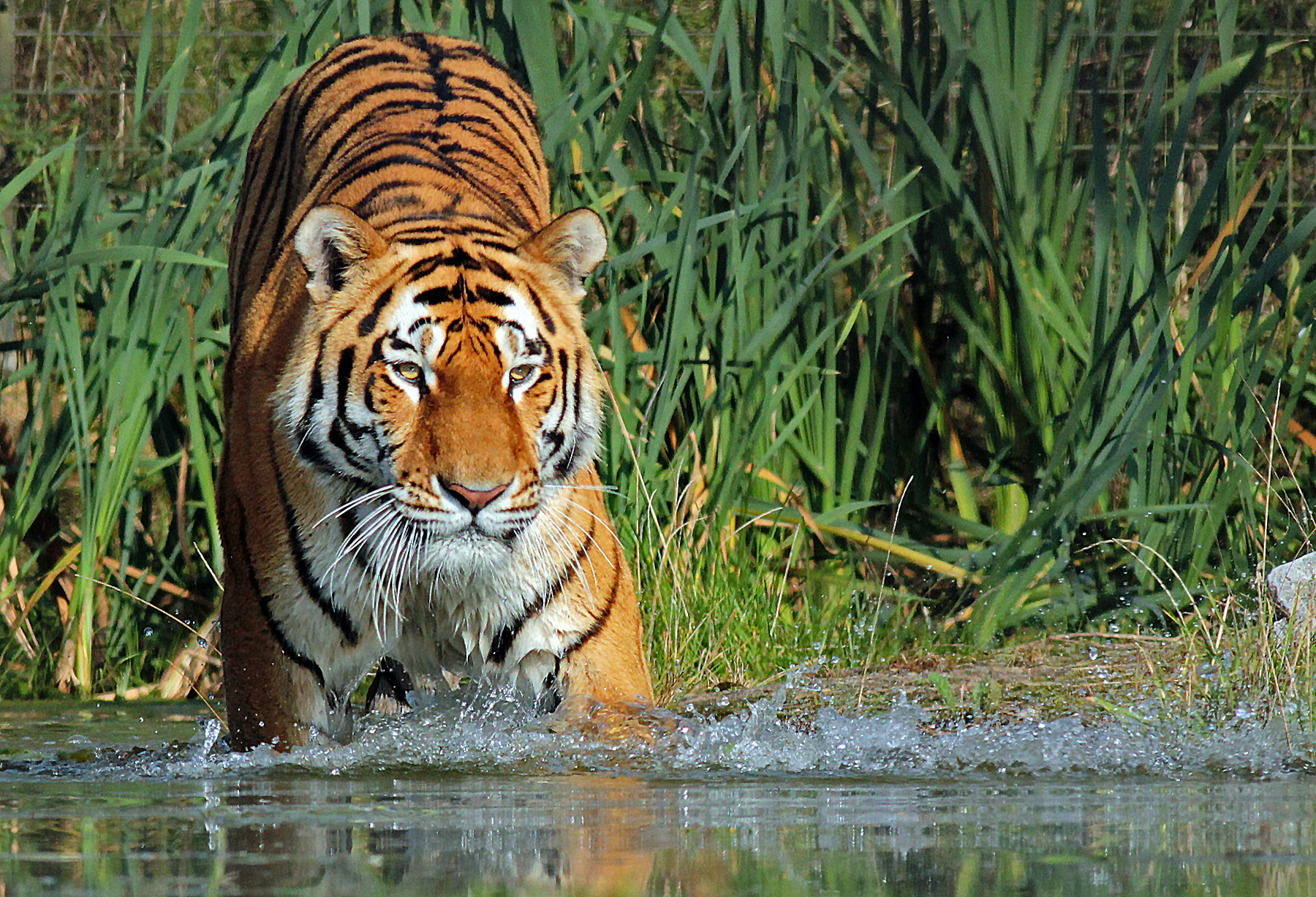 Securing a future for tigers | Zoological Society of London (ZSL)