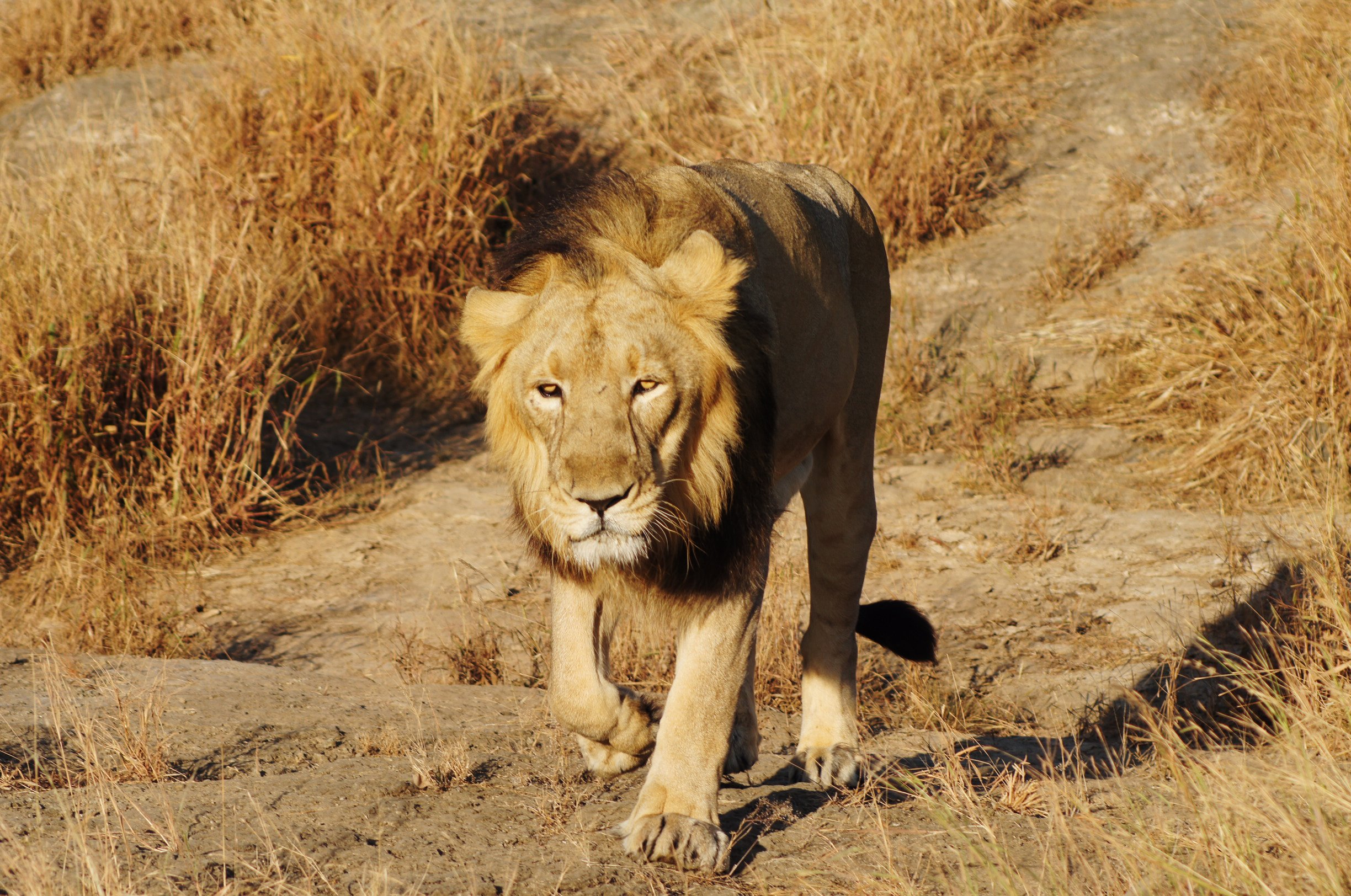 Asiatic lion facts | Zoological Society of London (ZSL)