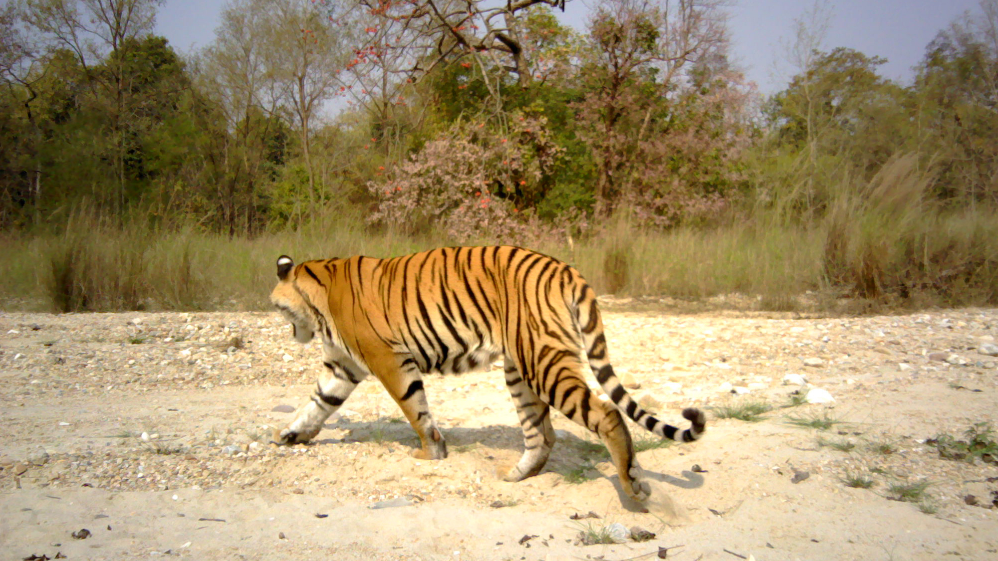 roaring success as tiger population rises in nepal | zoological
