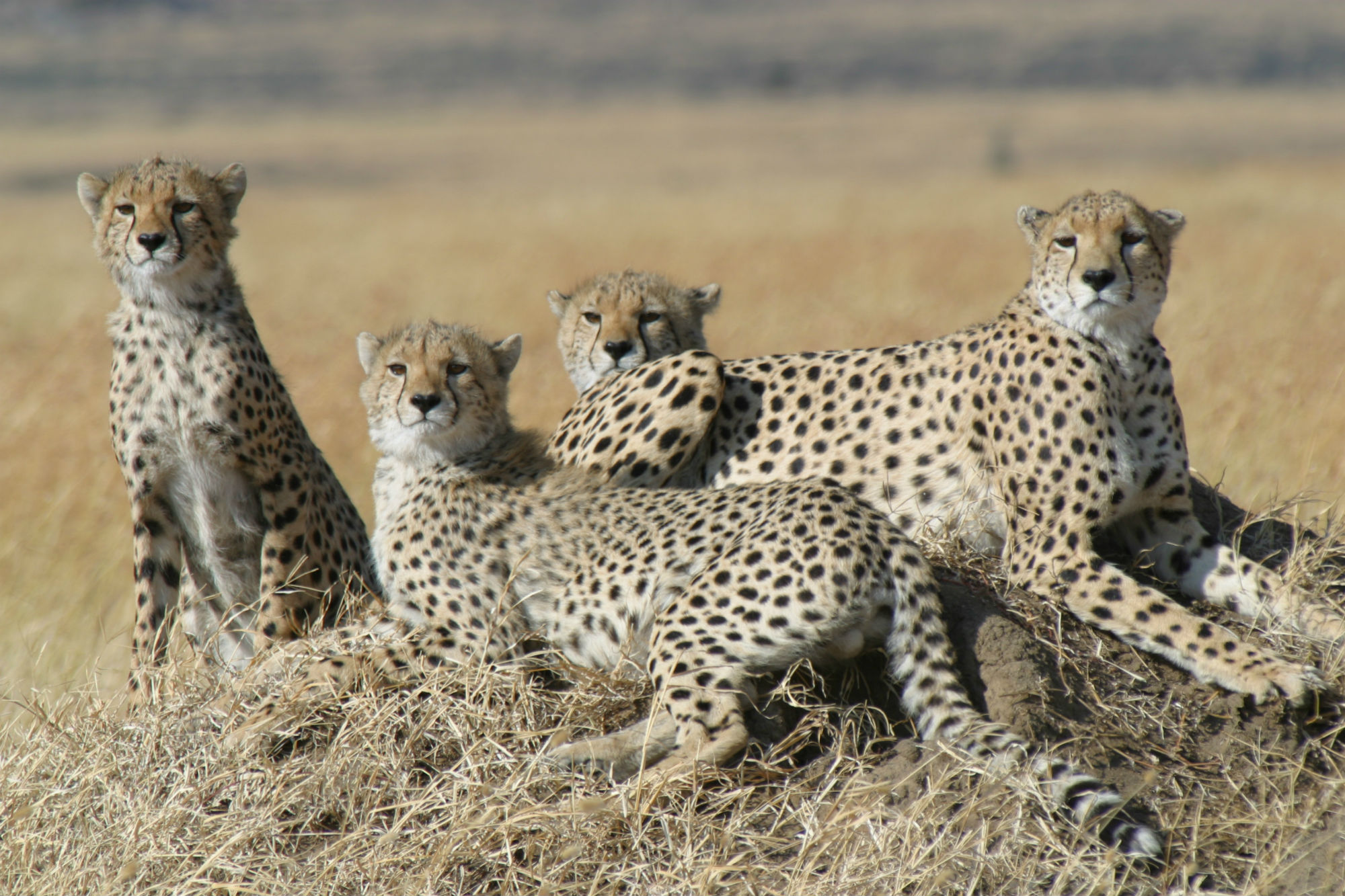 the possible extinction of cheetahs and the need to conserve them The mass extinction of cheetahs has gone unnoticed for far too long and now animal conservation activists are asking that this species be added to the list of endangered animals.
