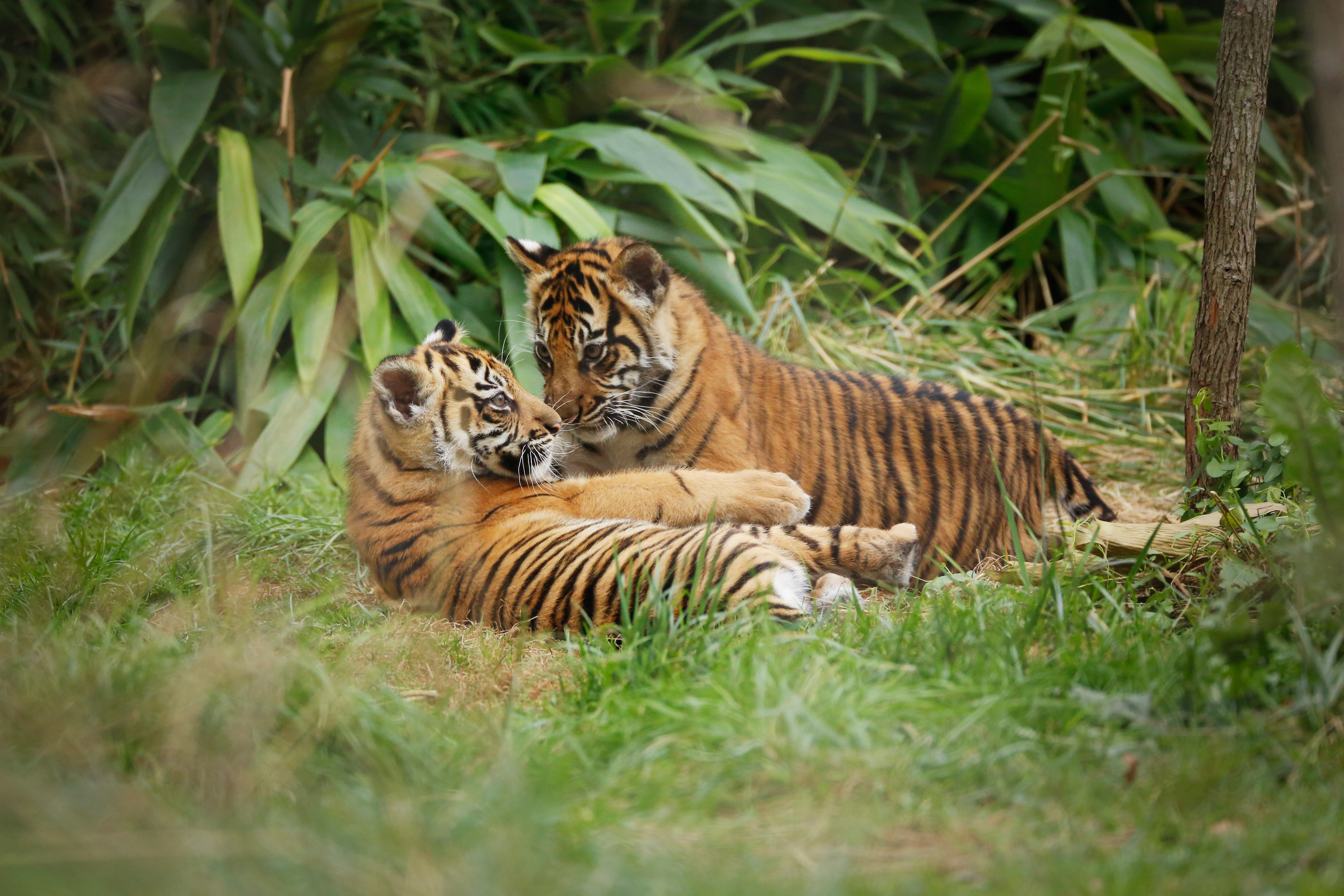 Tiger Territory | Zoological Society of London (ZSL)