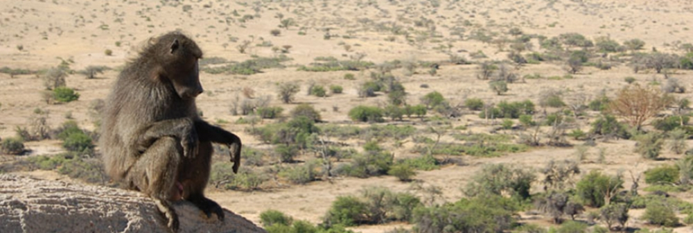 Baboon on rock outcrop