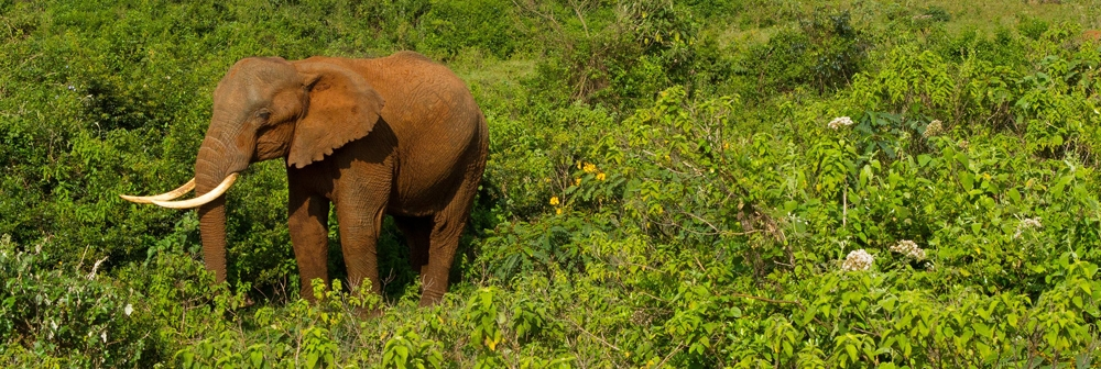 Forest Elephant