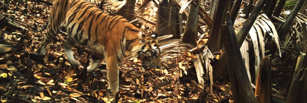 Sumatran tiger - Sembilang National Park