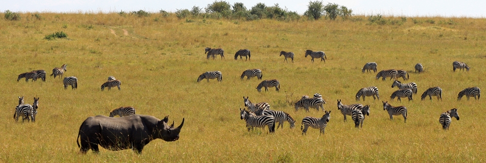 Black rhino and zebra