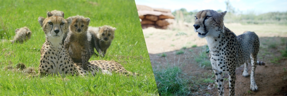 Banner for cheetah rock at ZSL Whipsnade Zoo
