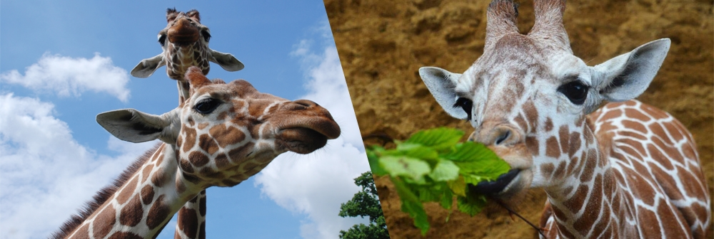 Giraffe heights banner for ZSL Whipsnade Zoo