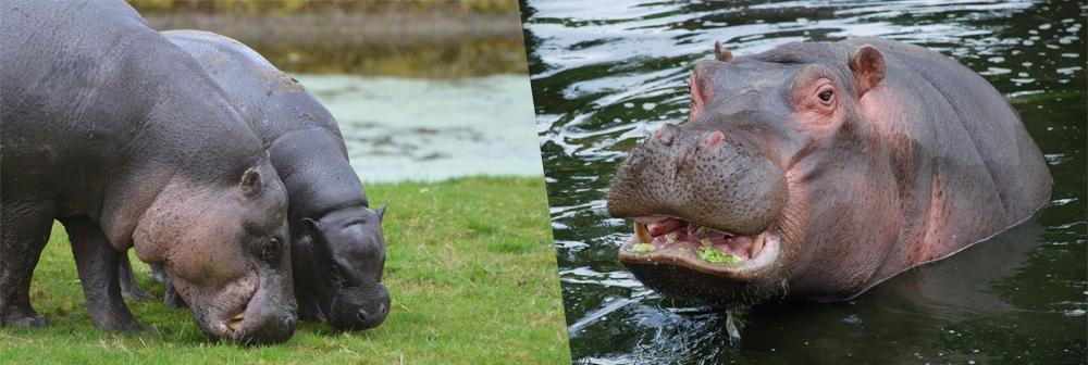 Banner for hippos at ZSL Whipsnade Zoo
