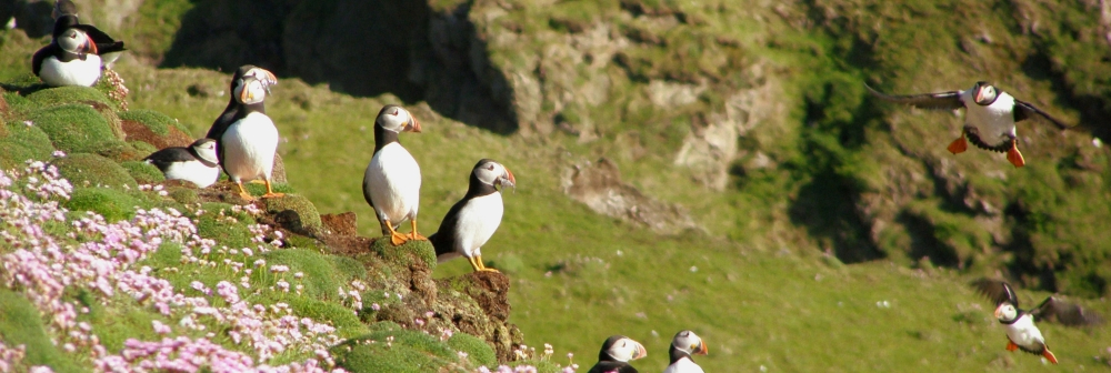 Group of puffins sitting and flying in flowers on cliffside in FairIsle