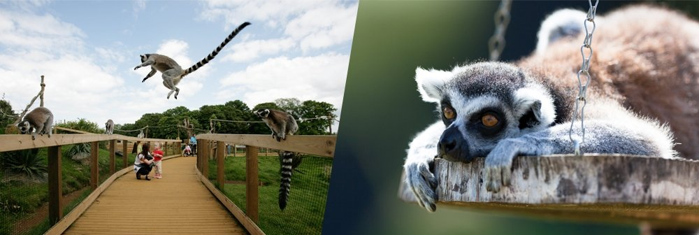 Banner for lemurs at ZSL Whipsnade Zoo