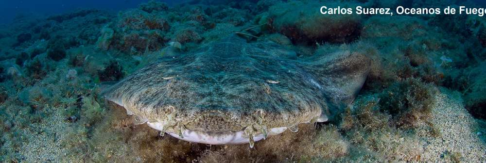 Angel shark in the Canary Islands