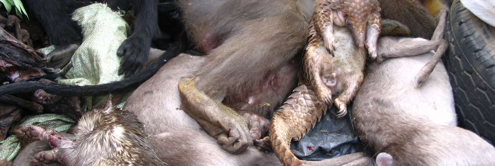 Bushmeat on truck in Equatorial Guinea_Janna Rist ZSL