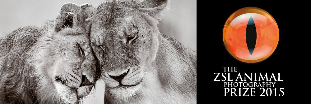 ZSL Animal Photography Prize 2015 Lions Banner