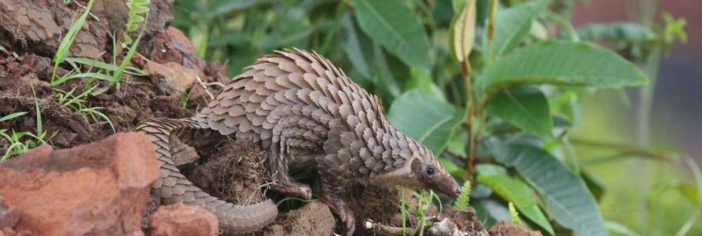 White-bellied pangolin (c) Tim Wacher, ZSL