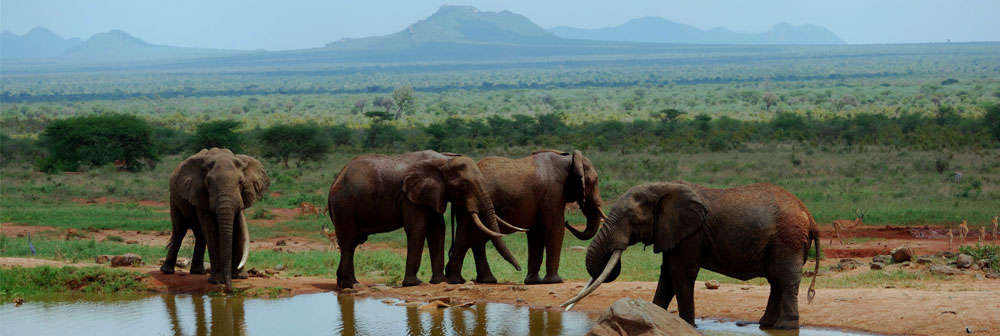African elephants in Tsavo, Kenya