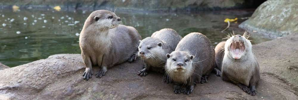 Oriental short-clawed otters at ZSL London Zoo
