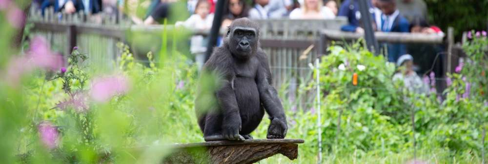 Alika the gorilla in Gorilla Kingdom at ZSL London Zoo