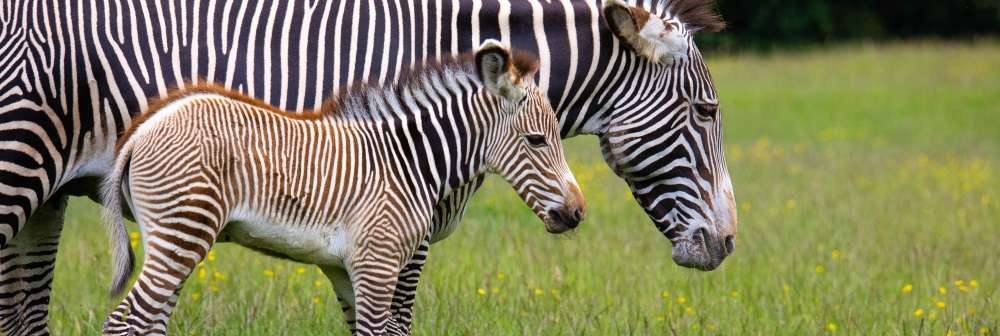 Zebra foal Azizi and mum Henna in June 2019