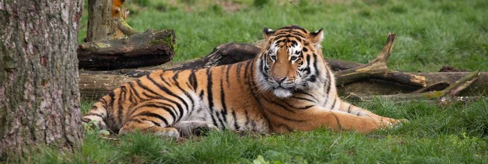 Our mighty amur tiger Botzman