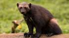 The stocky and muscular wolverine is the largest land-dwelling member of the weasel family. Known for their strength, wolverines are capable of killing prey many times their own size – even up to the size of a moose.