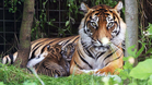 Mum Melati with her cubs Achilles and Karis pictured in 2016