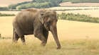 Elephants eat up to 300kg of food a day