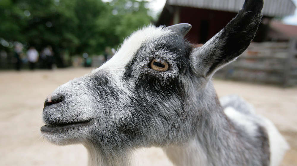 A close-up of a goat at ZSL London Zoo
